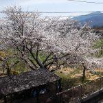 千曲川堤防にチューリップ畑出現???