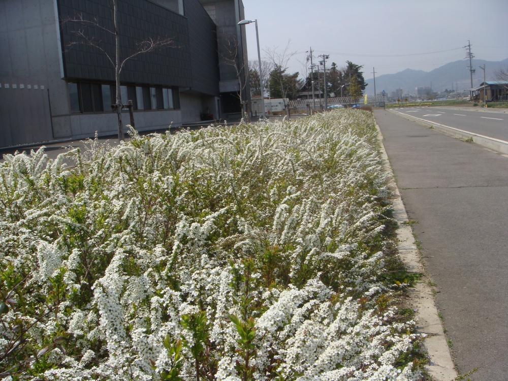 昨年10月剪定したユキヤナギ 今年はとても花付きがよくきれい