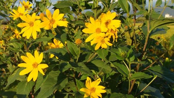 ひときわ目をひく鮮やかな黄色の花  キクイモモドキのような花です
