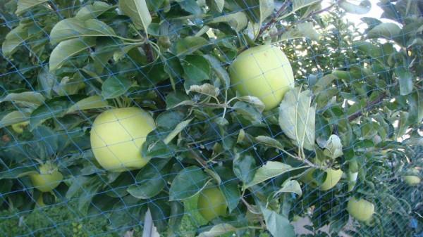 フルーツセンターを過ぎるとりんご畑が続きます シナノゴールド
