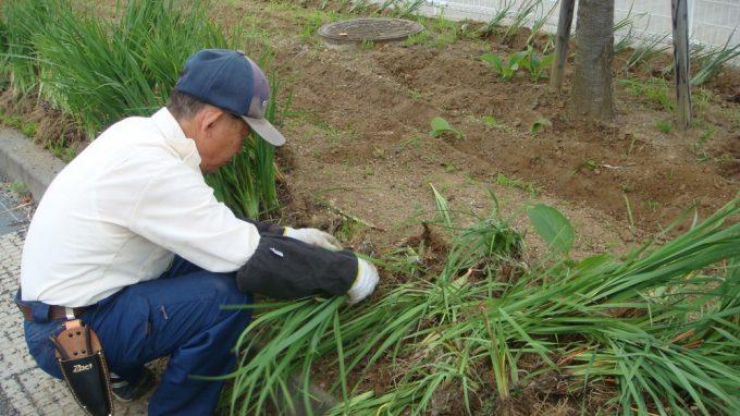 古い根を取り除く作業です。けっこう大変です。