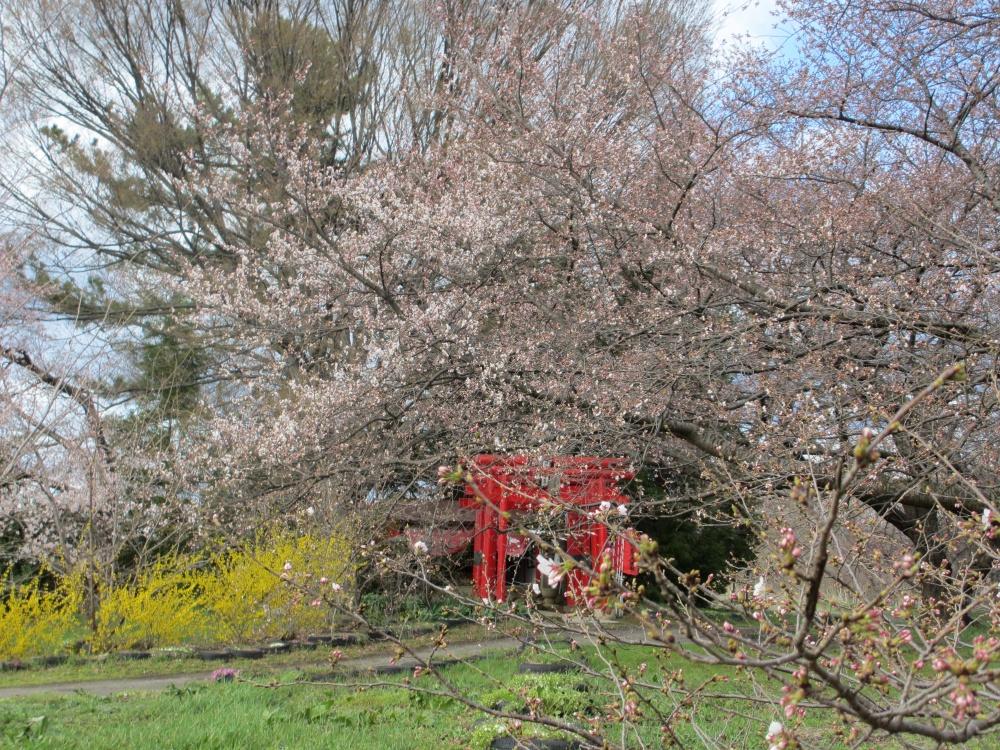 赤い鳥居 ピンクの桜 黄色のレンギョウ
