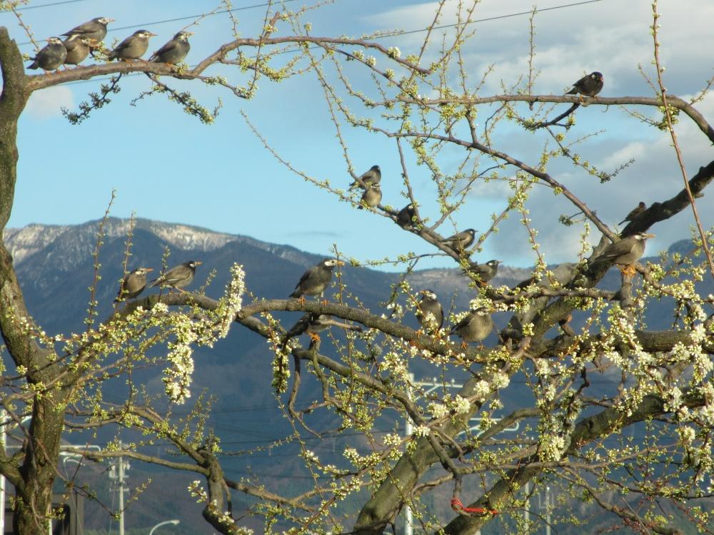 ほんとにたくさんの鳥が集まって お花見しているようです