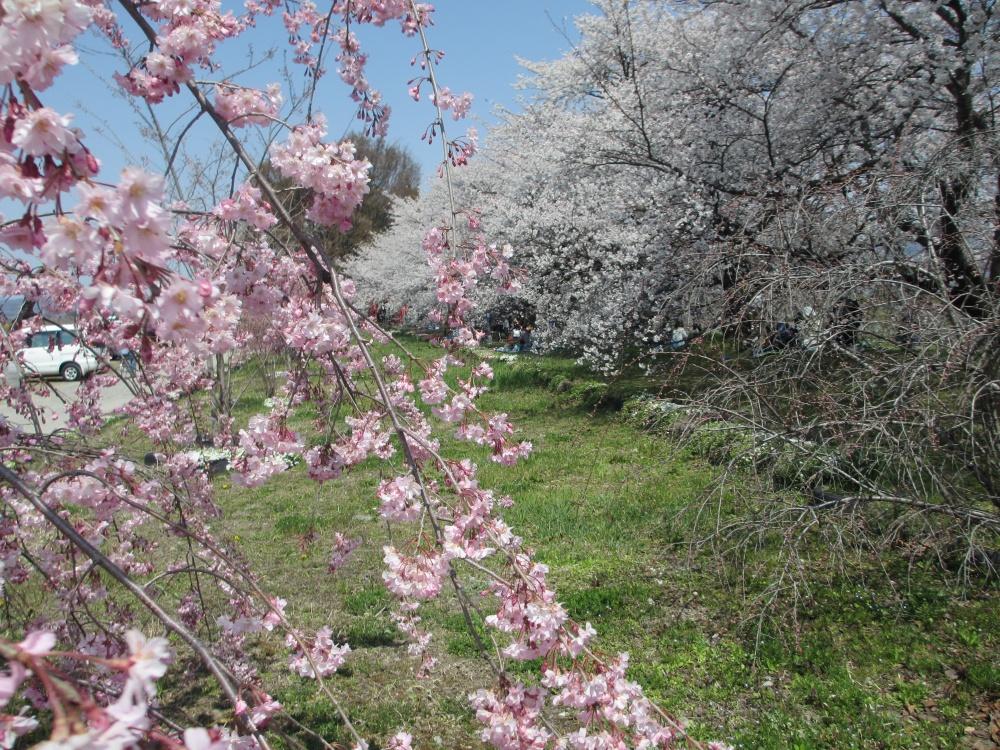 あたたかな日差しの中、きれいに咲いた桜