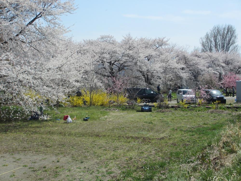 桜のほかにもいろいろな花が咲いています