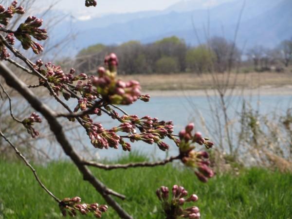 桜の蕾もほころび始めました