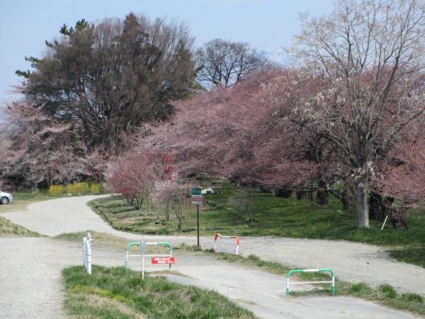 お稲荷さんの桜も濃いピンクになっています