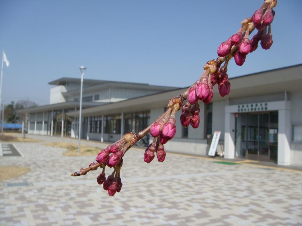 センターの桜 つぼみがふくらんでいます