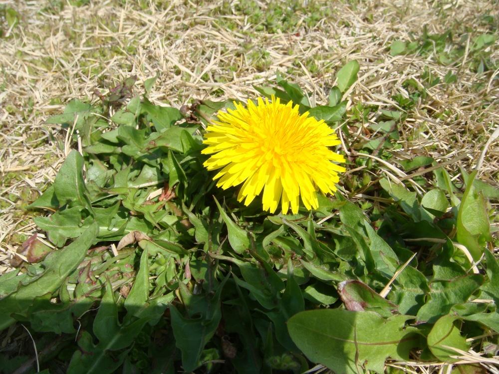 おひさまのようなタンポポの花