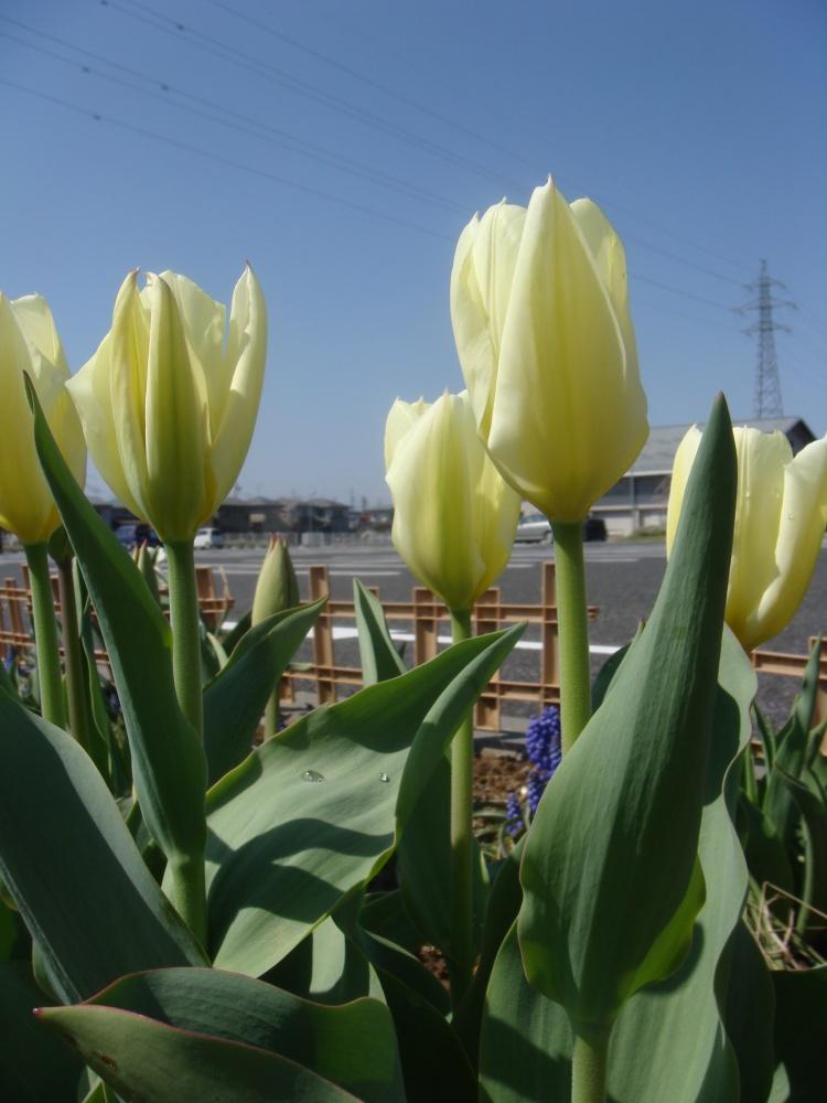センター入口付近 スイセンやチューリップが咲いています