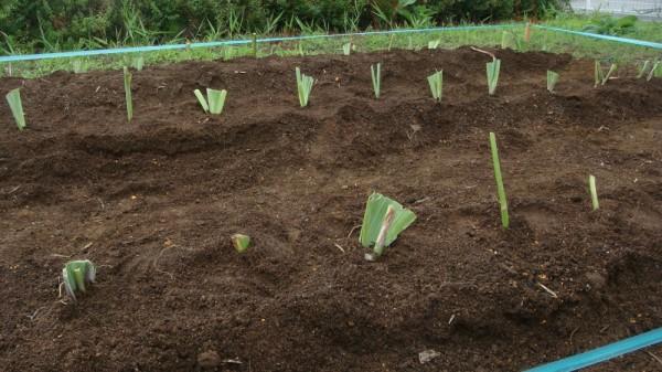 90株以上のジャーマンアイリスを植えることができました