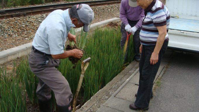 柳原駅近くの原さんのアヤメの株を掘っています