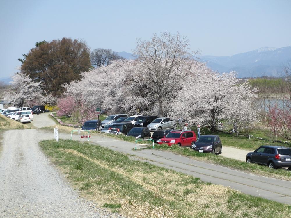 満開の桜 たくさんの車