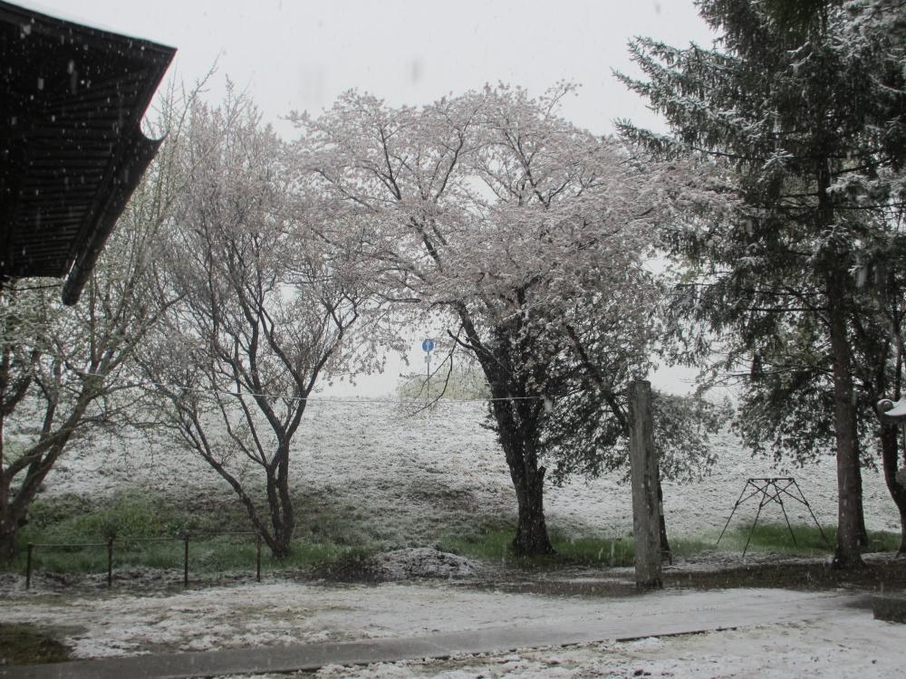 桜と季節はずれの雪
