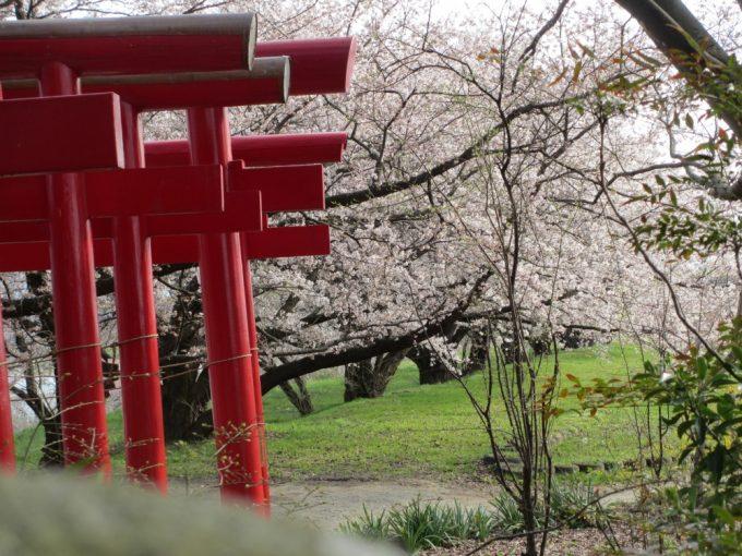 まっかな鳥居と桜のピンクそして草のみどりがいいコントラストです