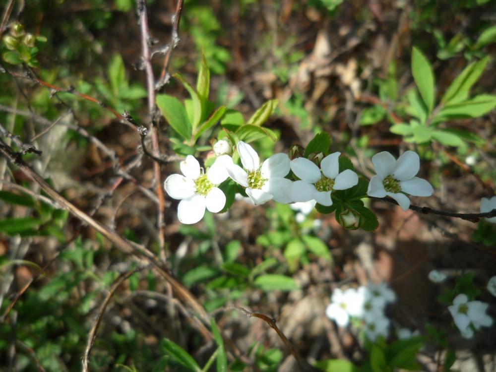 小さな白い花 かわいい